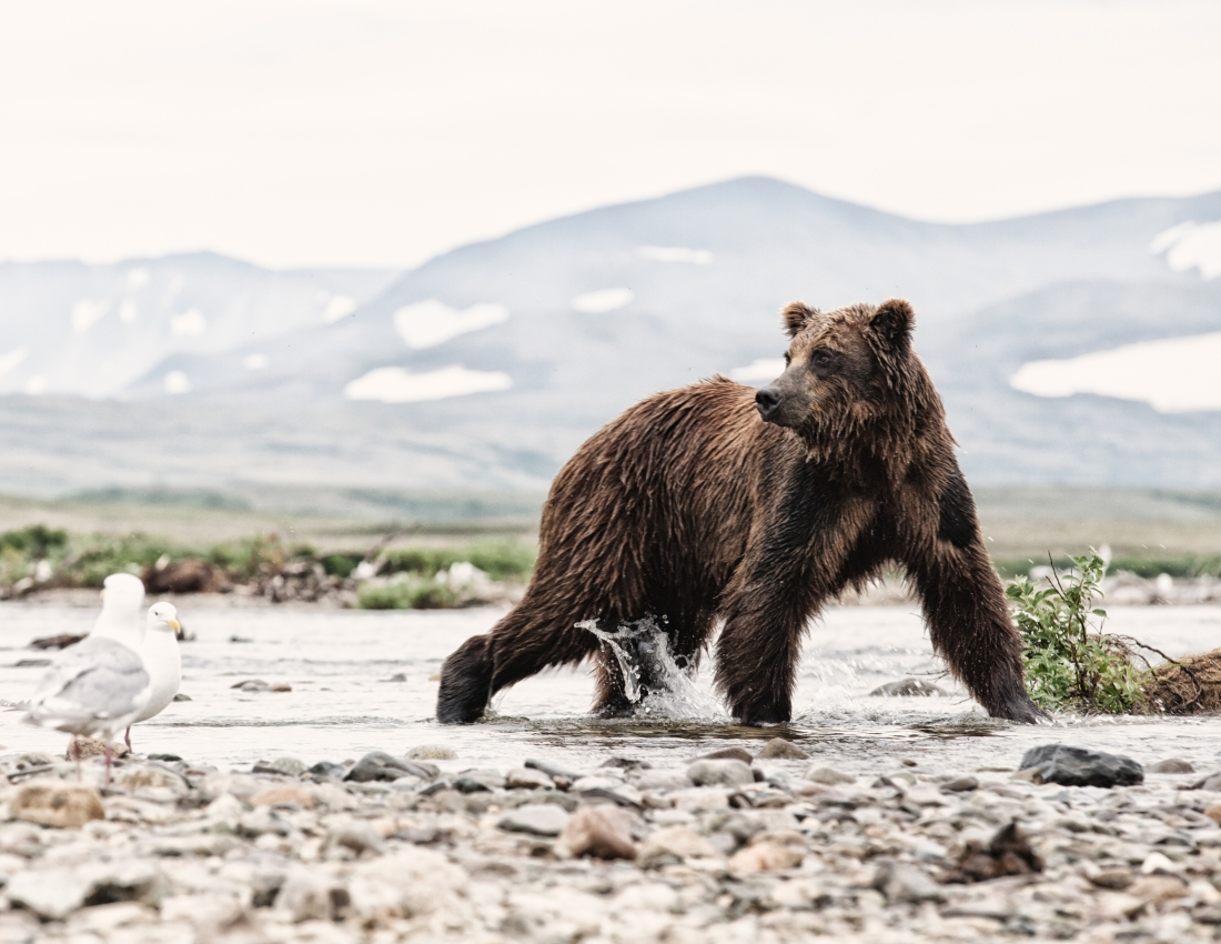 alaska-bear-4-11x8